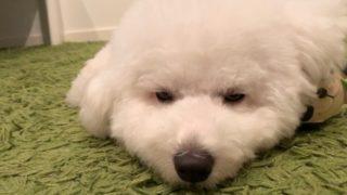 眠いビションフリーゼの画像