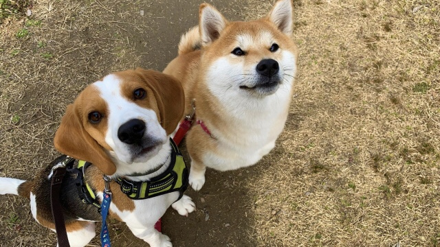 カメラ目線のビーグルと柴犬