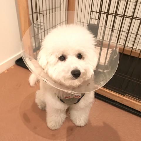エリカラをつけた犬